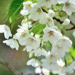 桜の種類の見分け方。簡単に区別できるポイントとは?一目置かれるよ!