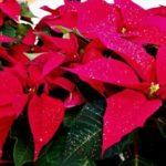 クリスマスの赤い花、ポインセチア。クリスマスに飾る理由は?